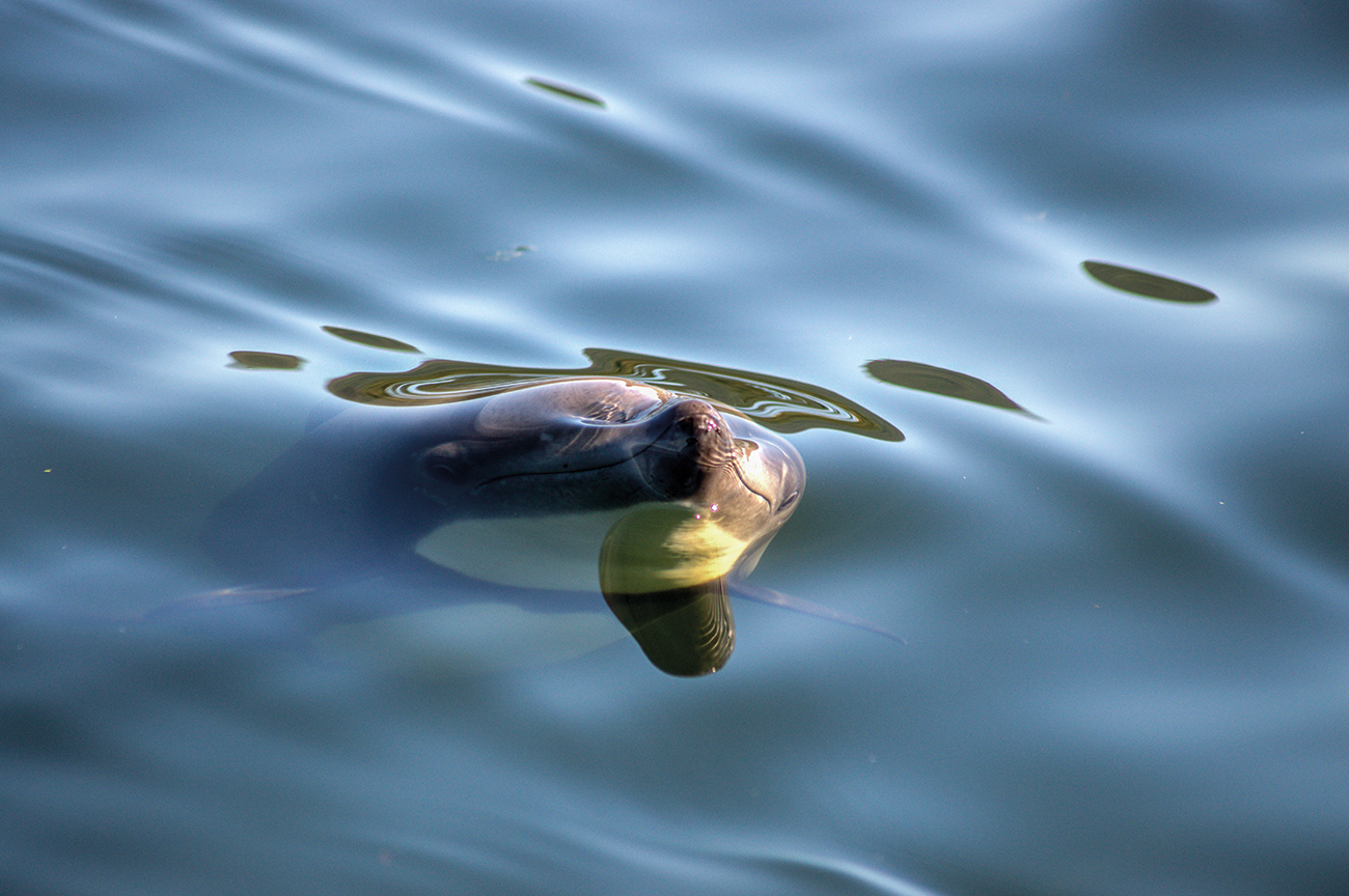 Delfín chileno3 mirando bajo la superficie Cayetano Espinosa Yaqu Pacha