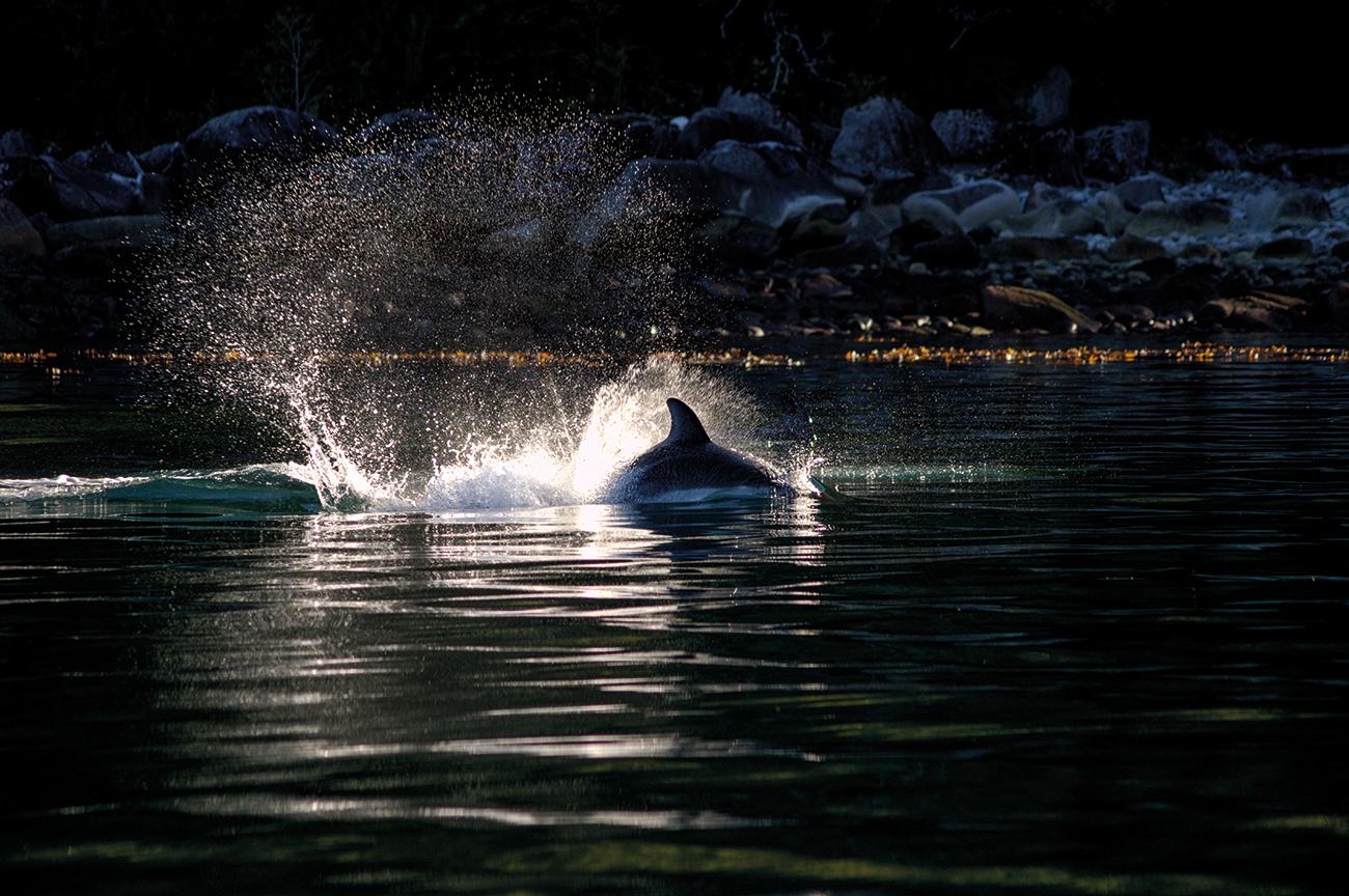 Delfin austral5 Cayetano Espinosa Yaqu Pacha