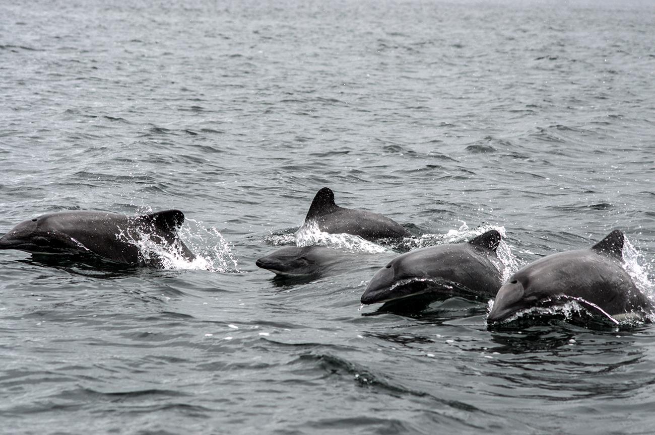Delfin chileno1 Cayetano Espinosa Yaqu Pacha