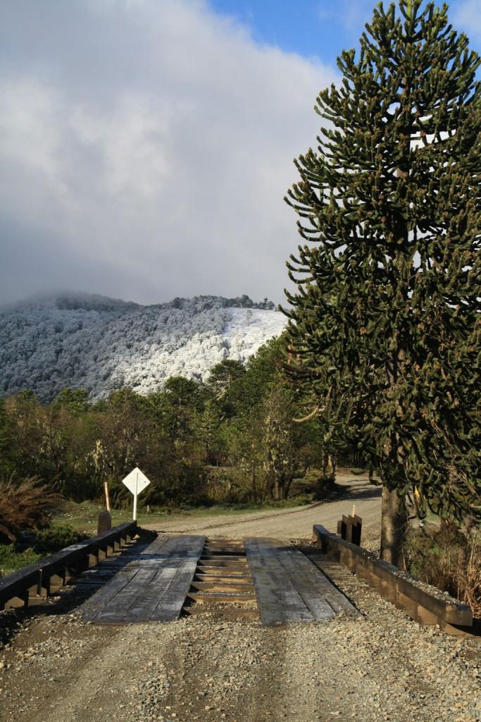 Lonquimay nos dio la bienvenida con  grandes bosques de araucarias teñidos de blanco por la nieve