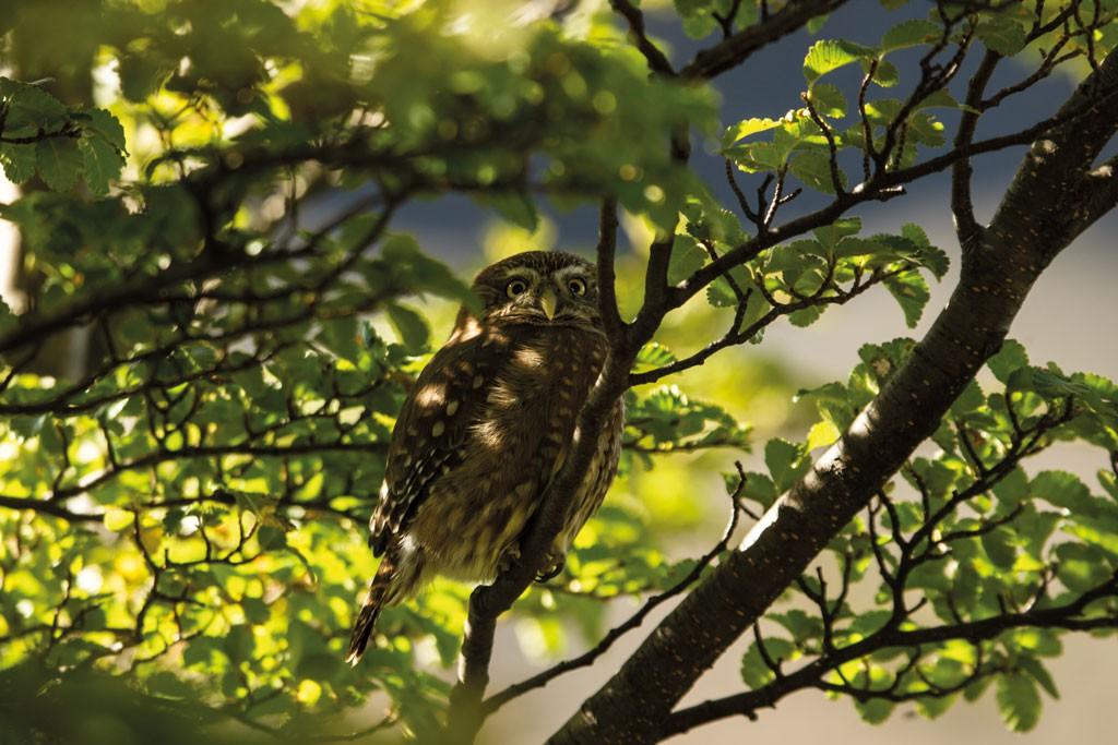 Un pequeño ejemplar de chuncho, de 15 cms de alto, descansa entre el follaje de la vegetación que rodea el camino a la base de Las Torres. Estaba a un par de metros solamente, y con tranquilidad posó para mi lente.