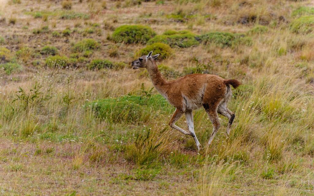 Guanaco juvenil persiguiendo a otro macho; estos especímenes estaban peleando por territorio en medio de la Ruta del Huemul. ¡No apareció ningún huemul esta vez!