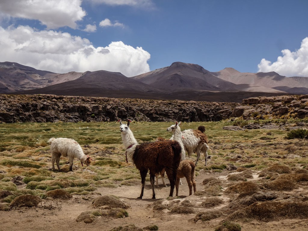 Flora y fauna carácterística del altiplano, alpacas, llamas y bofedales. Altura promedio 3.600 msnm.