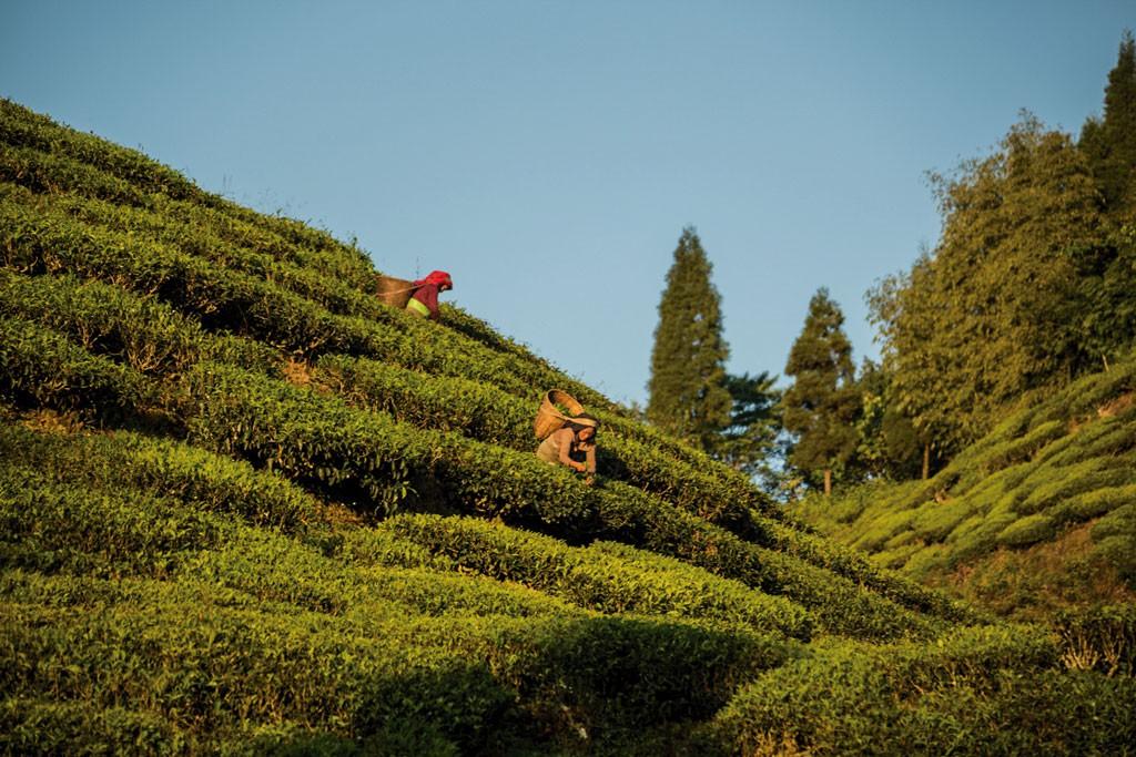 Durante la visita al evento conocimos la ciudad de Darjeeling y sus alrededores, donde es posible aprender sobre el té que volvió famosa la zona. La variedad de té negro más distinguida de estas colinas bengalíes tiene un almizcle que le da un suave dulzor, que los entendidos relacionan con el vino moscatel.