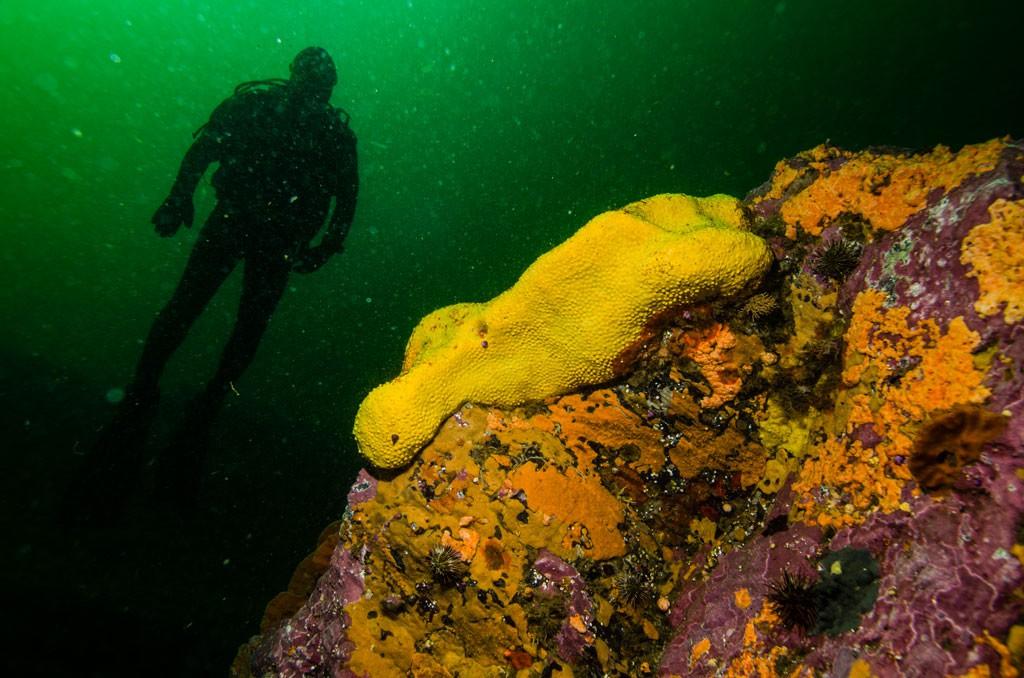 Buceador con esponja, muy cerca del fondo del sitio de buceo de Islas Tres Hermanas, profundidad aproximada 20 metros. Foto de Felipe González. Buceador con esponja, muy cerca del fondo del sitio de buceo de Islas Tres Hermanas, profundidad aproximada 20 metros. Foto de Felipe González.