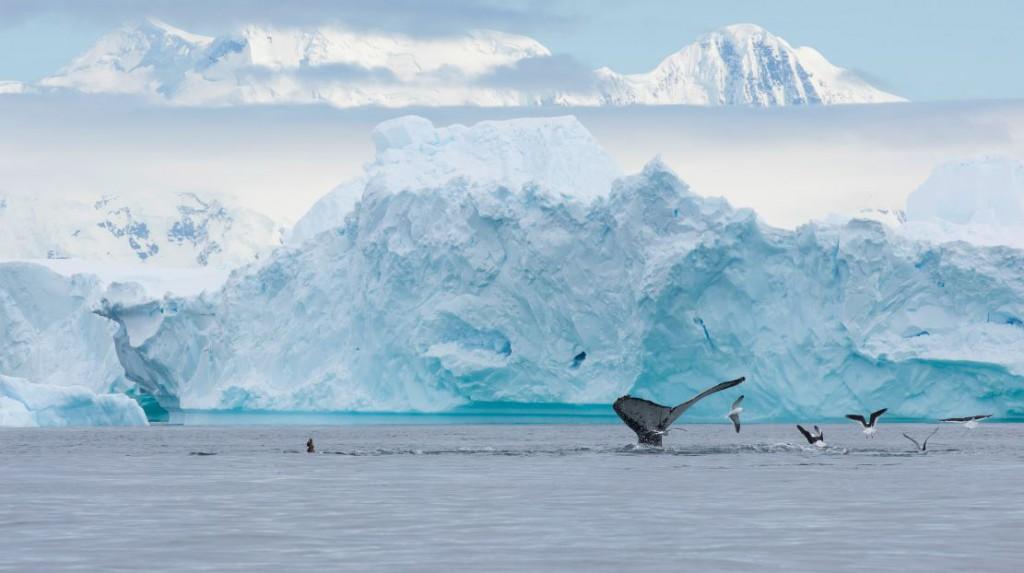 Mientras navegaba entre los miles de icebergs de Portal Point, me encontré con este espectáculo, un gran grupo de ballenas jorobadas que estaba alimentándose. Foto de Nicolás Gildemeister