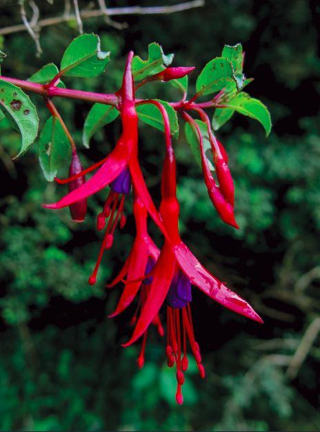 una hermosa flor de chilco (Fucsia magellanica).
