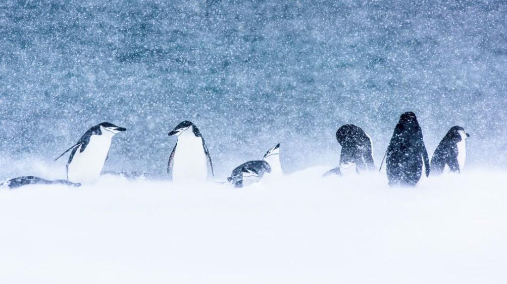 Una de las mejores tormentas que he presenciado, con un contraste increíble entre la nieve, los pingüinos y el mar, en Half Moon Island