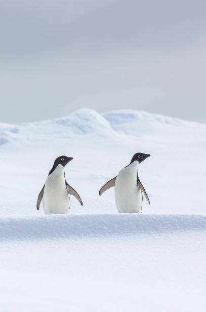 Dos pingüinos Adelia (psygoscelis adeliae) descansando sbore el mar congelado antes de volver a la colonia a relevar a su pareja en los cuidados del huevo