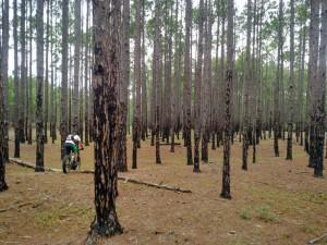 Bosque de pinos en el norte de la isla. Este árbol exótico fue utilizado para intentar contener el avance de las dunas.