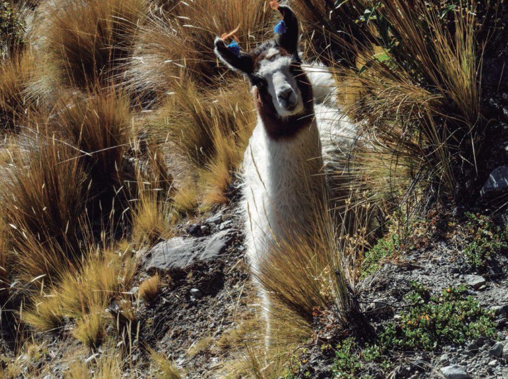 llamas en Quimsa Cruz, Bolivia